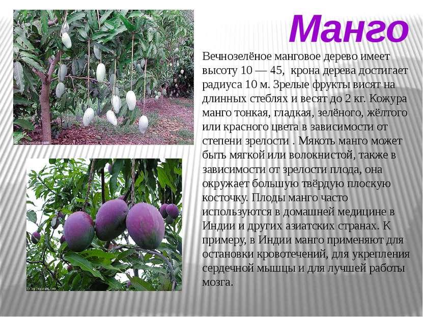 Манго Вечнозелёное манговое дерево имеет высоту 10 — 45, крона дерева достига...