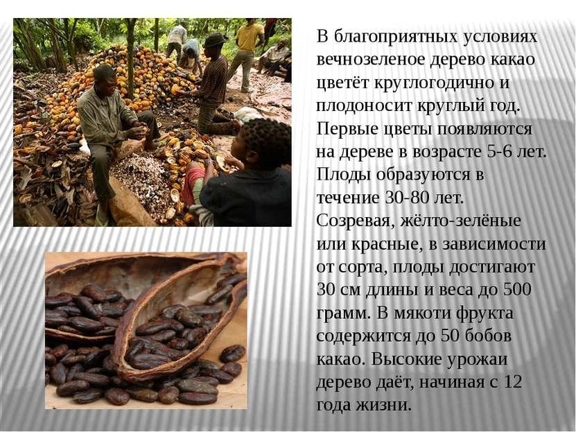 В благоприятных условиях вечнозеленое дерево какао цветёт круглогодично и пло...