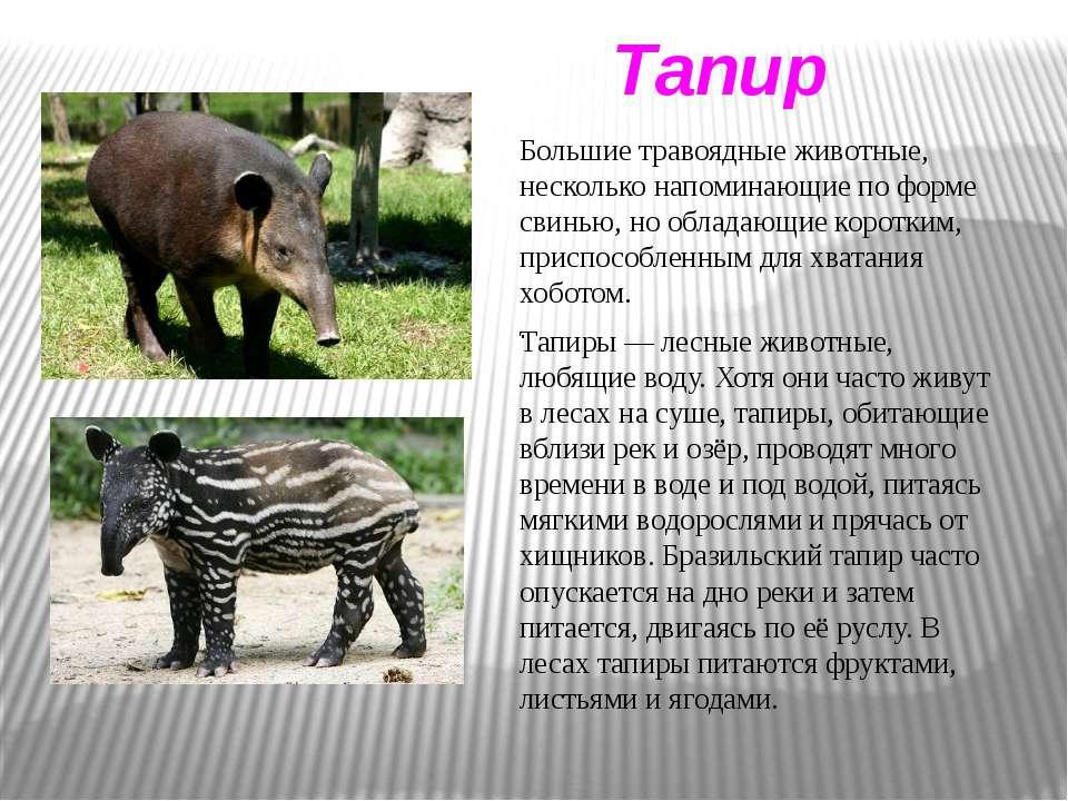 Тапир Тапиры — лесные животные, любящие воду. Хотя они часто живут в лесах на...