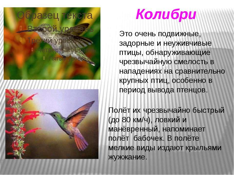 Это очень подвижные, задорные и неуживчивые птицы, обнаруживающие чрезвычайну...