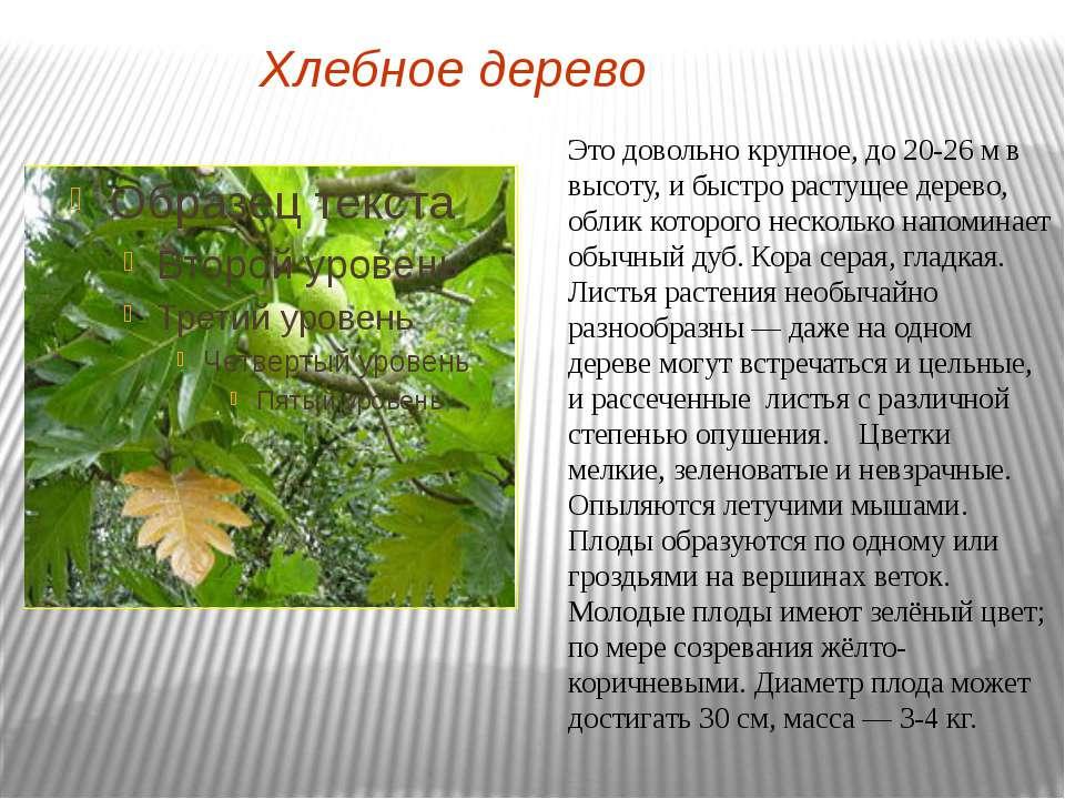 Хлебное дерево Это довольно крупное, до 20-26 м в высоту, и быстро растущее д...