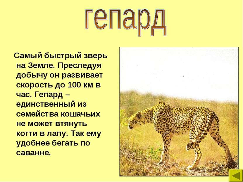 Самый быстрый зверь на Земле. Преследуя добычу он развивает скорость до 100 к...