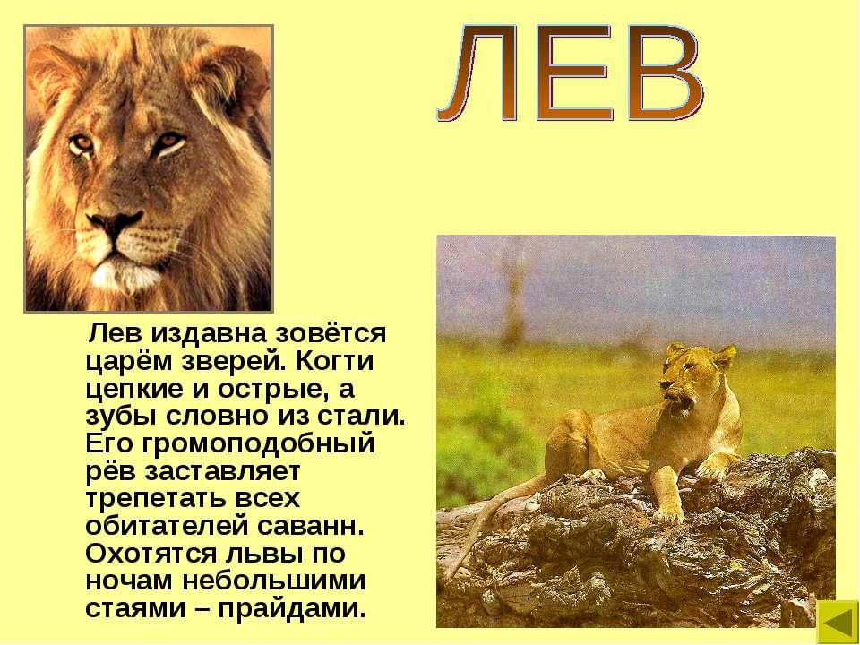 Лев издавна зовётся царём зверей. Когти цепкие и острые, а зубы словно из ста...