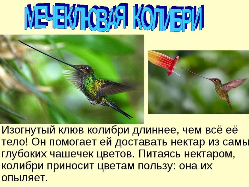 Изогнутый клюв колибри длиннее, чем всё её тело! Он помогает ей доставать нек...