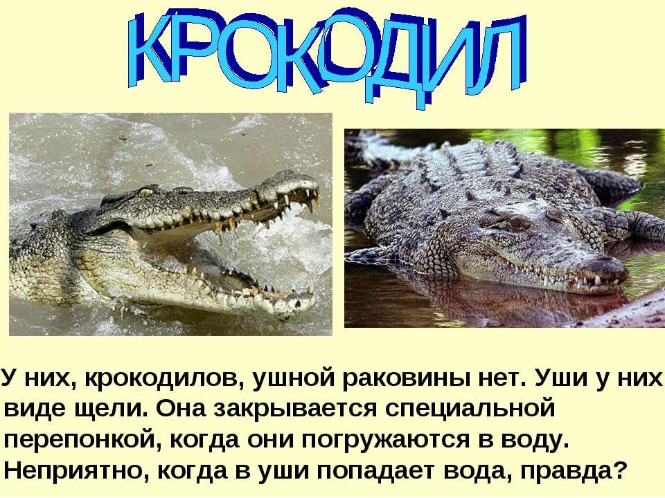 У них, крокодилов, ушной раковины нет. Уши у них в виде щели. Она закрывается...