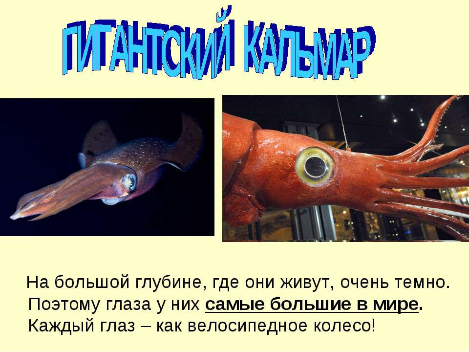 На большой глубине, где они живут, очень темно. Поэтому глаза у них самые бол...