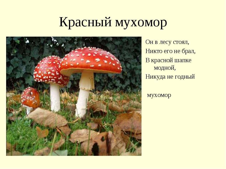 Красный мухомор Он в лесу стоял, Никто его не брал, В красной шапке модной, Н...