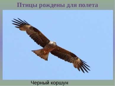 Птицы рождены для полета Черный коршун
