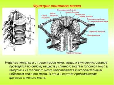 Функции спинного мозга Нервные импульсы от рецепторов кожи, мышц и внутренних...