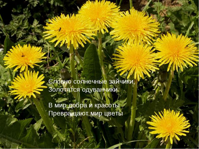 Словно солнечные зайчики, Золотятся одуванчики В мир добра и красоты Превраща...