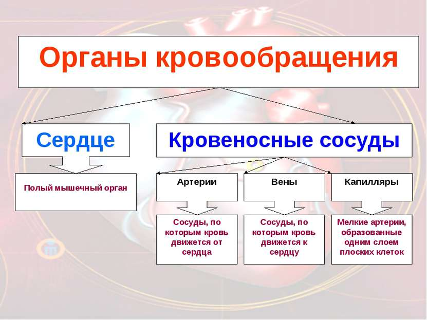 Органы кровообращения Кровеносные сосуды