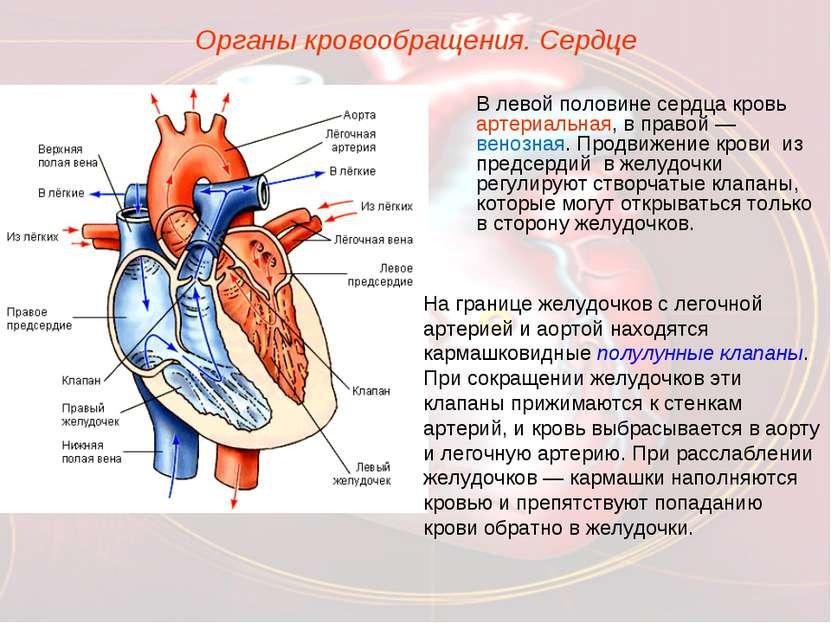 Органы кровообращения. Сердце В левой половине сердца кровь артериальная, в п...