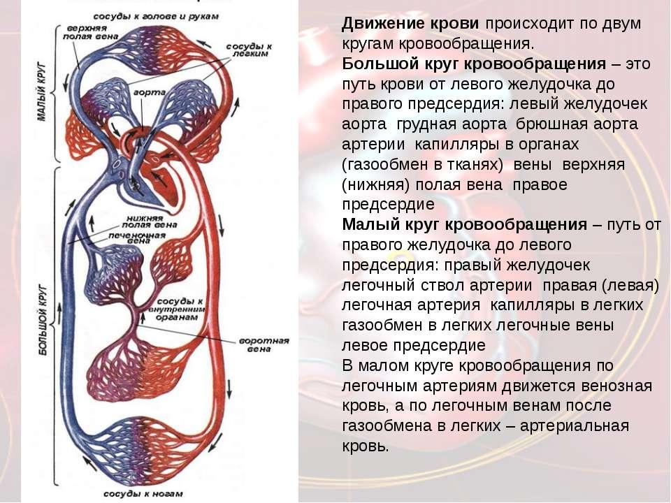 Движение крови происходит по двум кругам кровообращения. Большой круг кровооб...