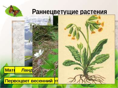 Раннецветущие растения Мать-и-мачеха Подснежник Медуница Ландыш Ветреница дуб...