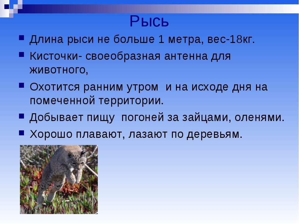 Рысь Длина рыси не больше 1 метра, вес-18кг. Кисточки- своеобразная антенна д...