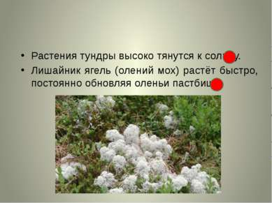 Растения тундры высоко тянутся к солнцу. Лишайник ягель (олений мох) растёт б...