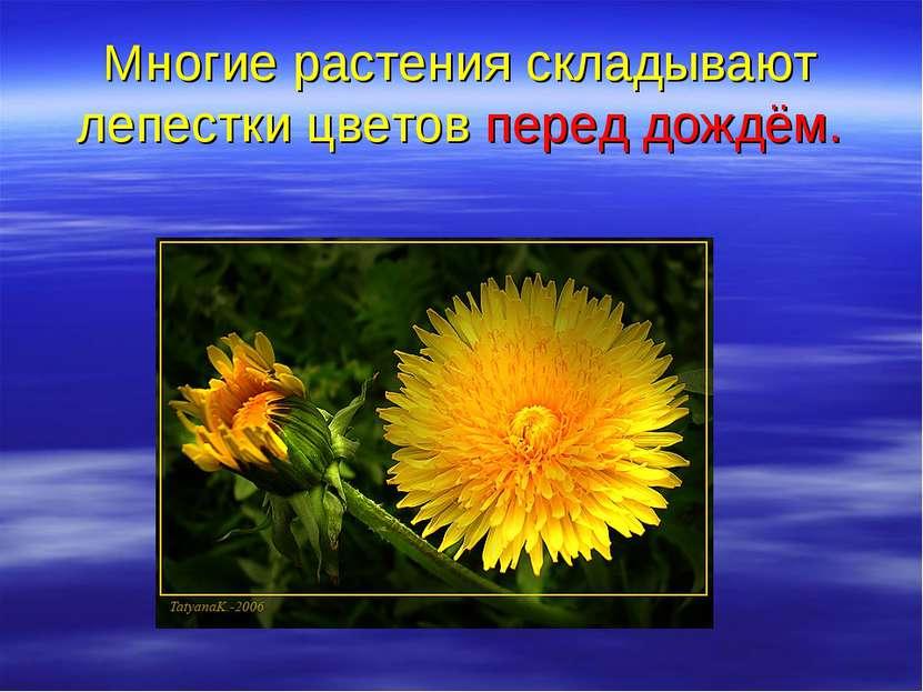 Многие растения складывают лепестки цветов перед дождём.