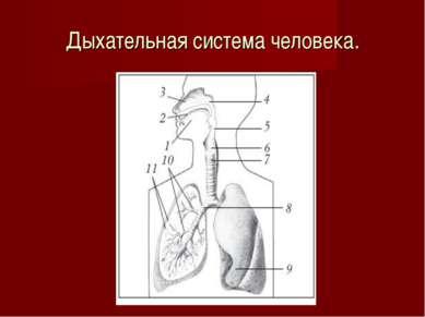 Дыхательная система человека.