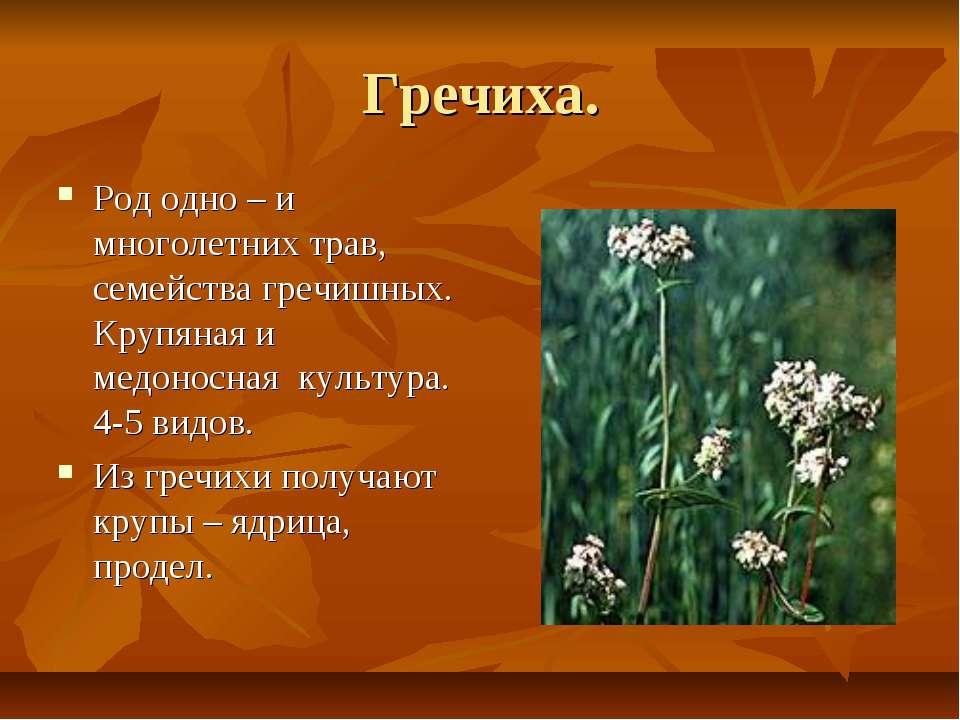 Гречиха. Род одно – и многолетних трав, семейства гречишных. Крупяная и медон...