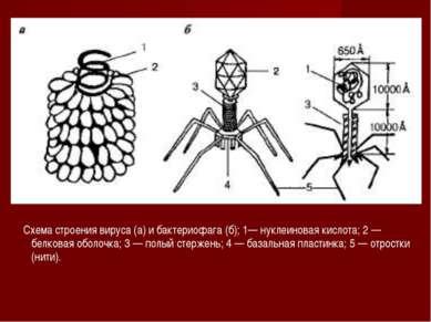 Схема строения вируса (а) и бактериофага (б); 1— нуклеиновая кислота; 2 — бел...