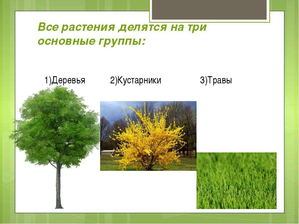 Все растения делятся на три основные группы: 1)Деревья 2)Кустарники 3)Травы