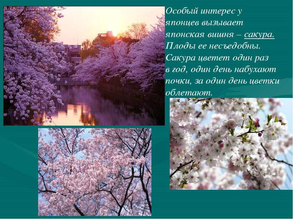 Особый интерес у японцев вызывает японская вишня – сакура. Плоды ее несъедобн...