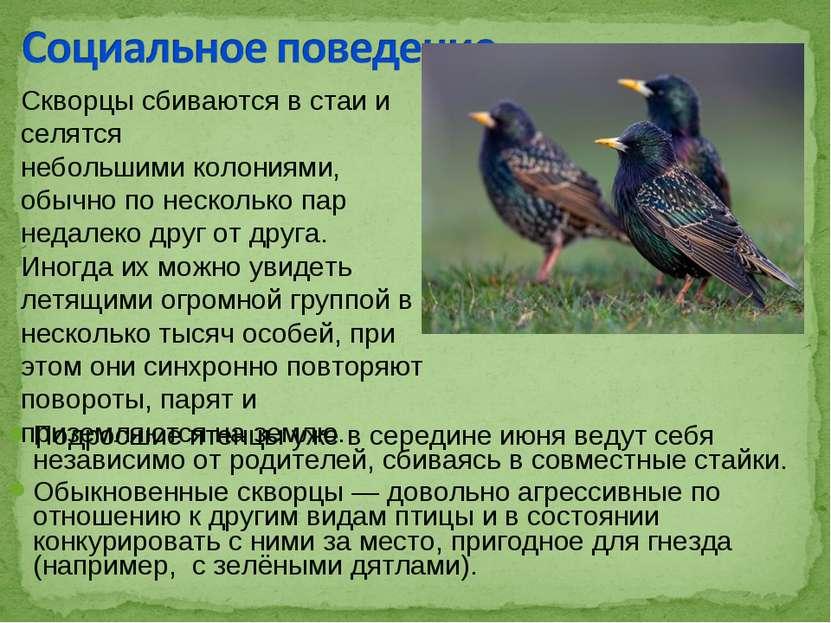 Подросшие птенцы уже в середине июня ведут себя независимо от родителей, сбив...