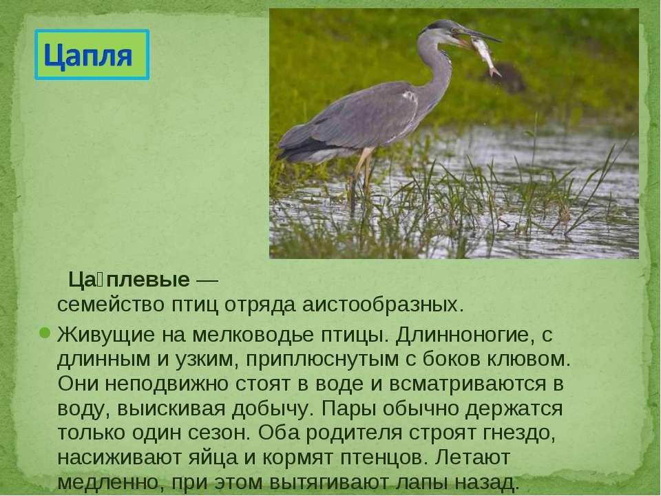 Ца плевые— семействоптицотрядааистообразных. Живущие на мелководье птицы....