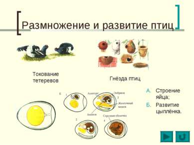Размножение и развитие птиц Токование тетеревов Гнёзда птиц А. Строение яйца;...