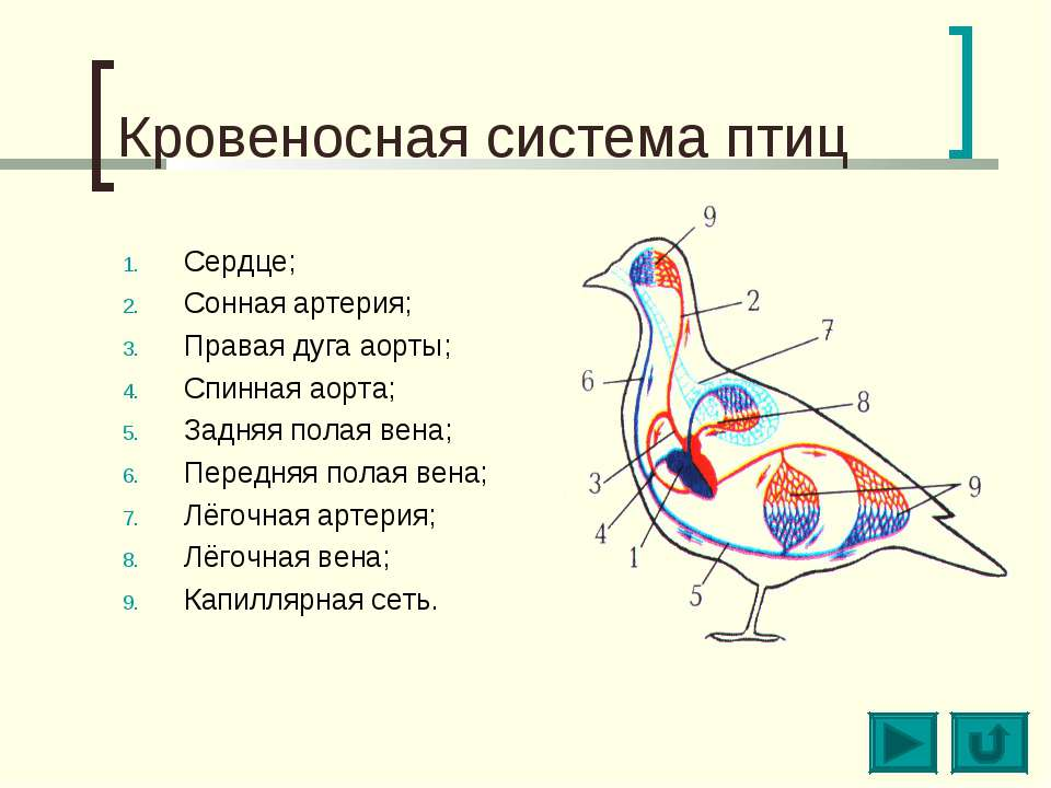 Кровеносная система птиц Сердце; Сонная артерия; Правая дуга аорты; Спинная а...