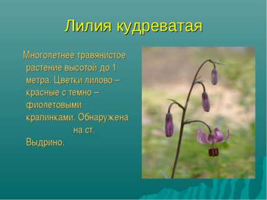 Лилия кудреватая Многолетнее травянистое растение высотой до 1 метра. Цветки ...