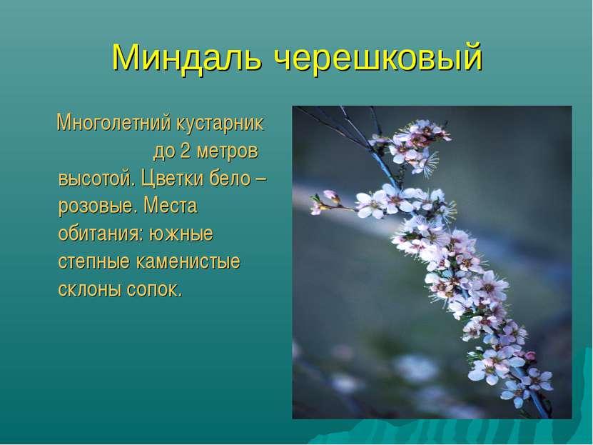 Миндаль черешковый Многолетний кустарник до 2 метров высотой. Цветки бело – р...