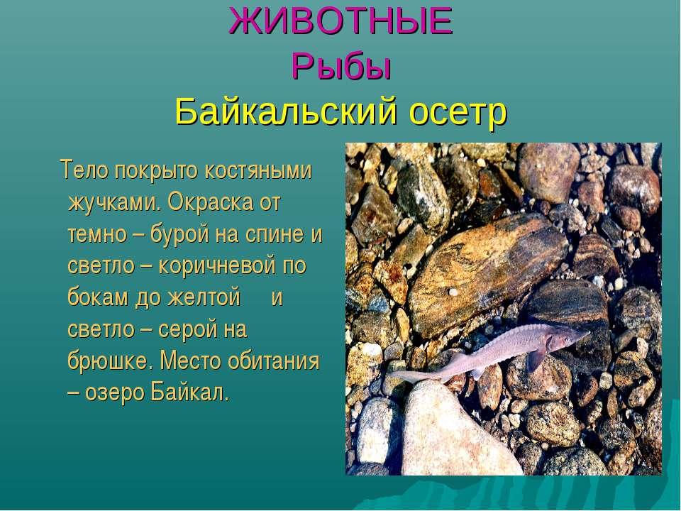 ЖИВОТНЫЕ Рыбы Байкальский осетр Тело покрыто костяными жучками. Окраска от те...