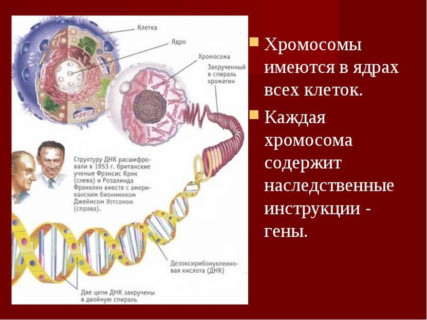 Хромосомы имеются в ядрах всех клеток. Каждая хромосома содержит наследственн...