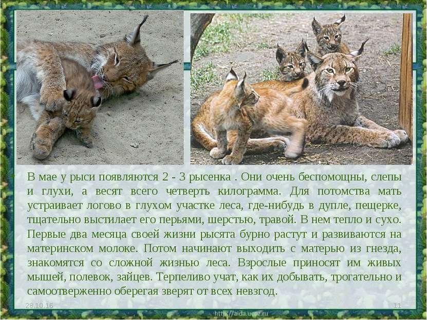 В мае у рыси появляются 2 - 3 рысенка . Они очень беспомощны, слепы и глухи, ...