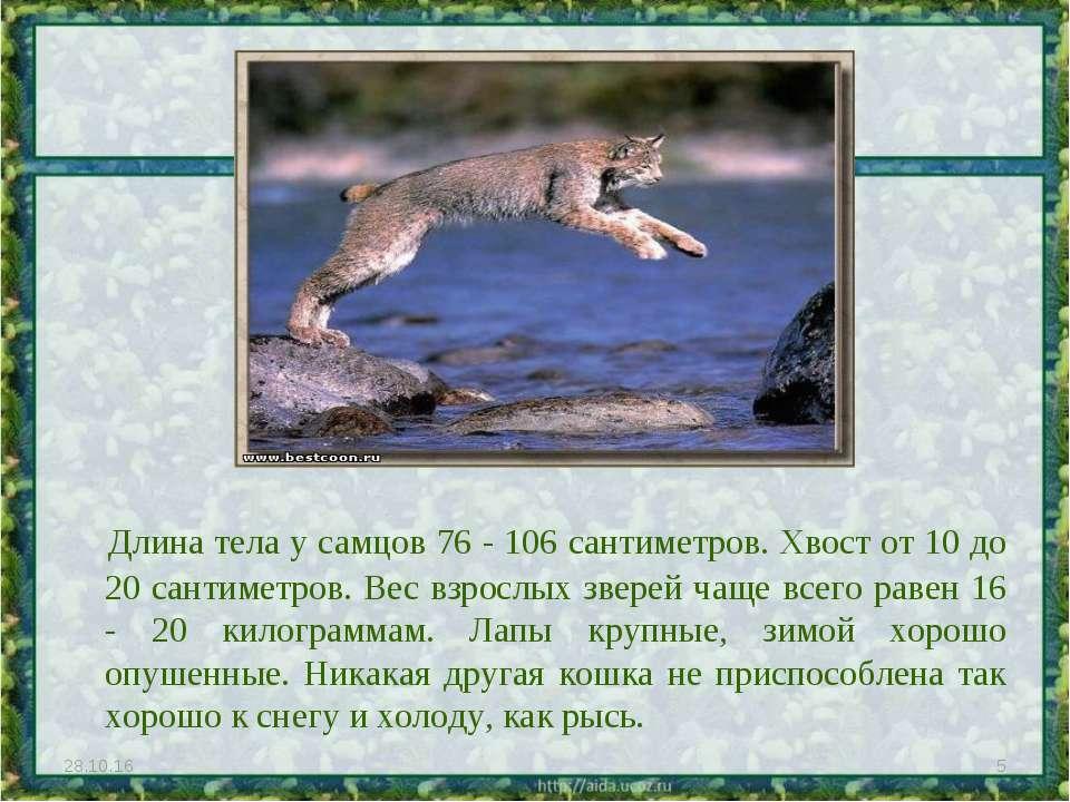Длина тела у самцов 76 - 106 сантиметров. Хвост от 10 до 20 сантиметров. Вес ...