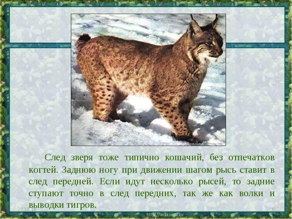 След зверя тоже типично кошачий, без отпечатков когтей. Заднюю ногу при движе...
