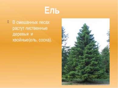 Ель В смешанных лесах растут лиственные деревья и хвойные(ель, сосна).