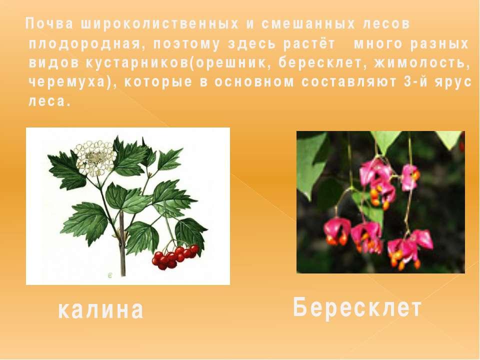 Почва широколиственных и смешанных лесов плодородная, поэтому здесь растёт мн...