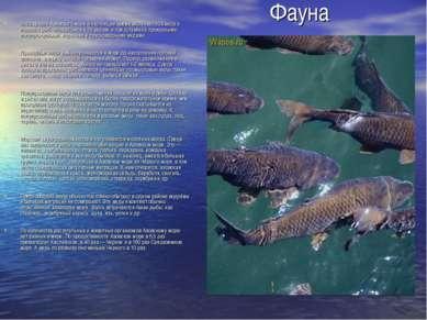 Фауна Ихтиофауна Азовского моря в настоящее время включает 103 вида и подвида...