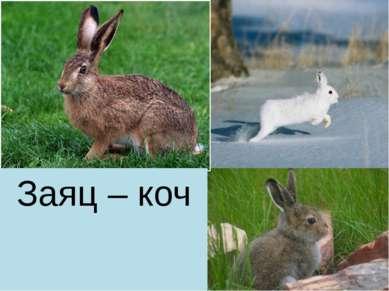 Заяц – коч