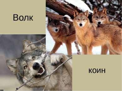 коин Волк
