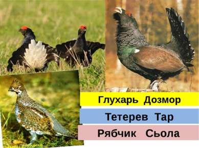 Глухарь Дозмор Тетерев Тар Рябчик Сьола