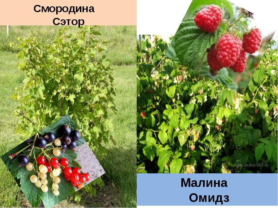 Смородина Сэтор Малина Омидз