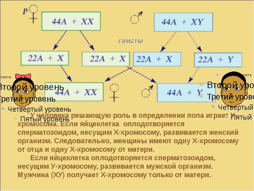 У человека решающую роль в определении пола играет У-хромосома. Если яйцеклет...
