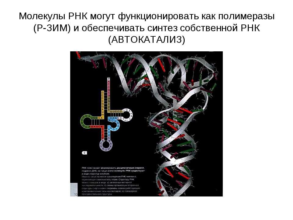 Молекулы РНК могут функционировать как полимеразы (Р-ЗИМ) и обеспечивать синт...