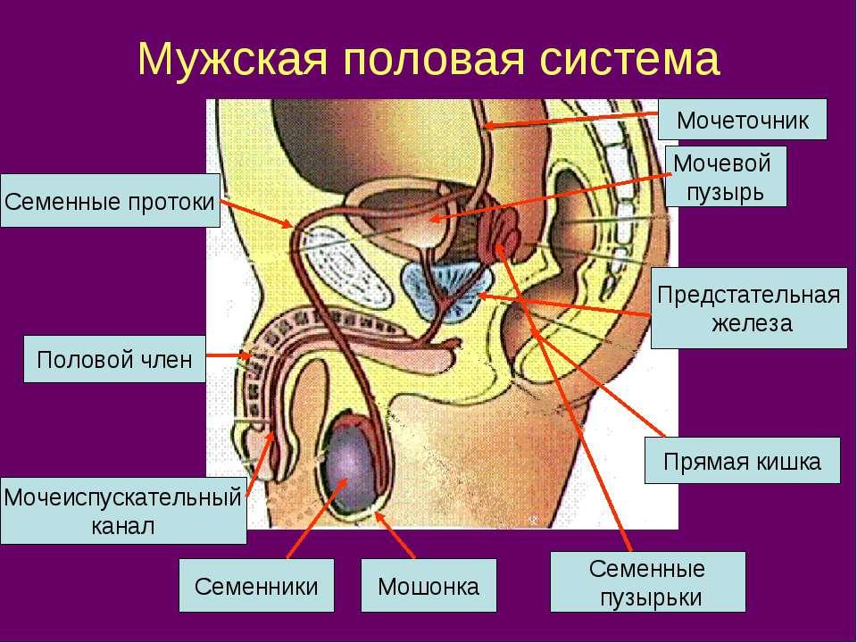 Мужская половая система Мочевой пузырь Мочеточник Семенные протоки Предстател...
