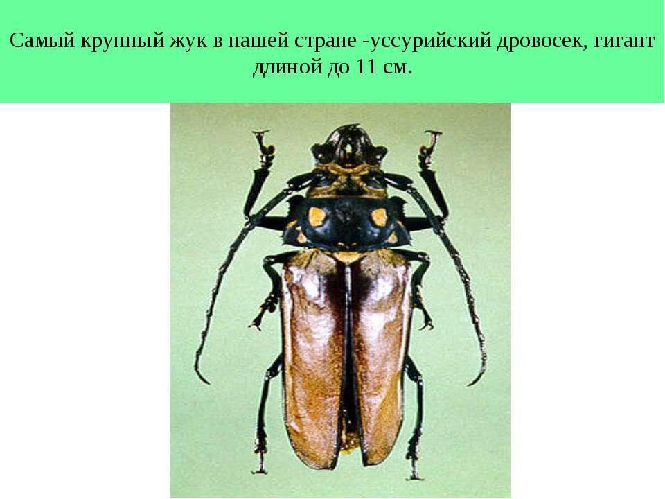 Самый крупный жук в нашей стране -уссурийский дровосек, гигант длиной до 11 см.