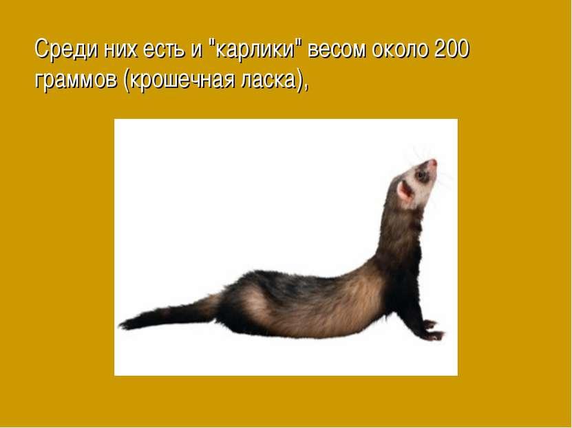 """Среди них есть и """"карлики"""" весом около 200 граммов (крошечная ласка),"""
