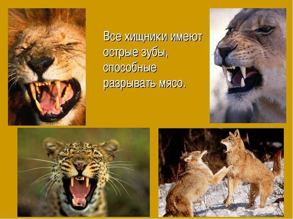 Все хищники имеют острые зубы, способные разрывать мясо.